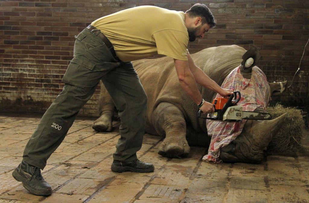 Kein schöner Anblick: Ein Tierpark in Tschechien kürzt die Hörner der Nashörner. Foto: Zoo Dvur Kralove