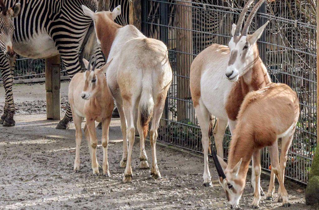 Die beiden jungen Säbelantilopen wurden im geschützten Teil des Zoos gehalten. Foto: dpa/Wilhelma Stuttgart