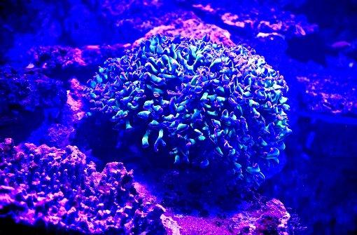 Korallen machen Haifisch Kalli Konkurrenz