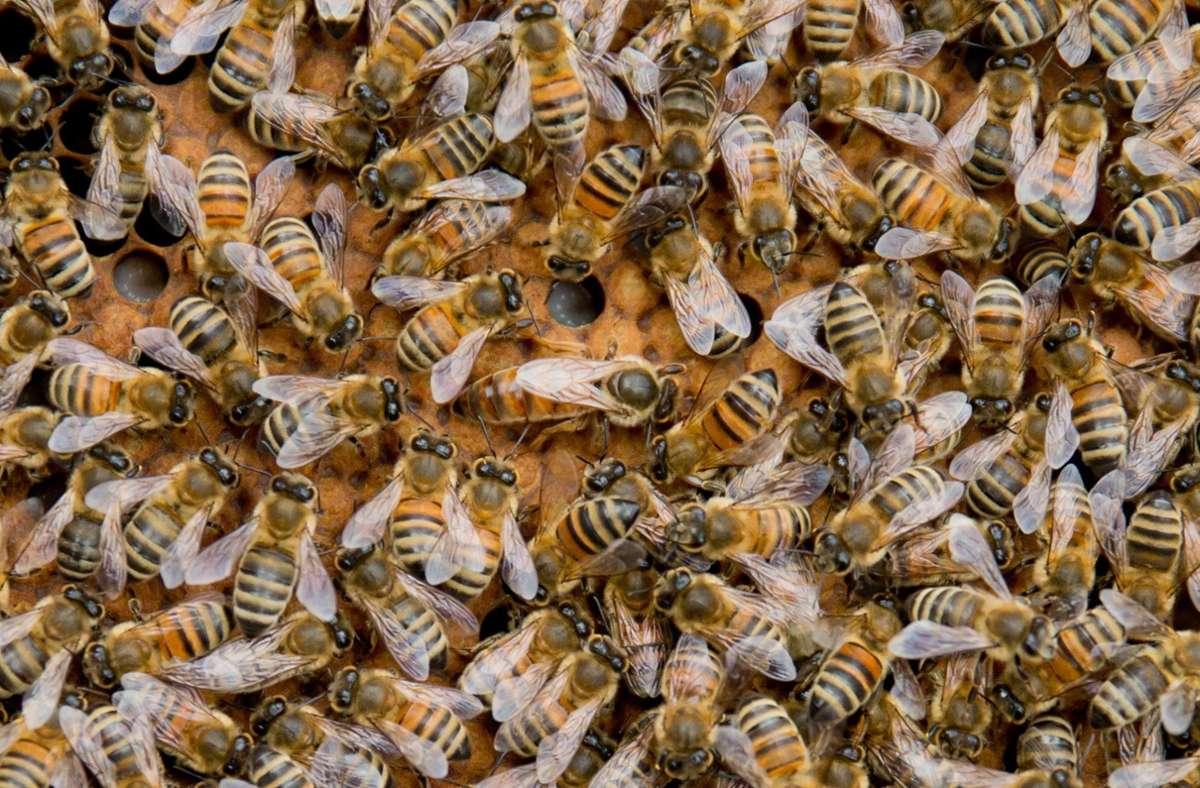 Sechs Bienenvölker fielen dem Brand zum Opfer. (Symbolbild) Foto: dpa/Daniel Karmann