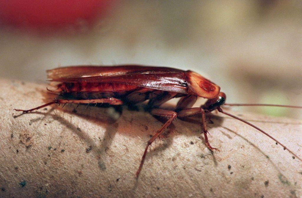Als Küchenschabe werden die Deutsche, Amerikanische oder Orientalische Schabe häufig bezeichnet. Diese Arten gelten als Schädlinge. Foto: dpa/