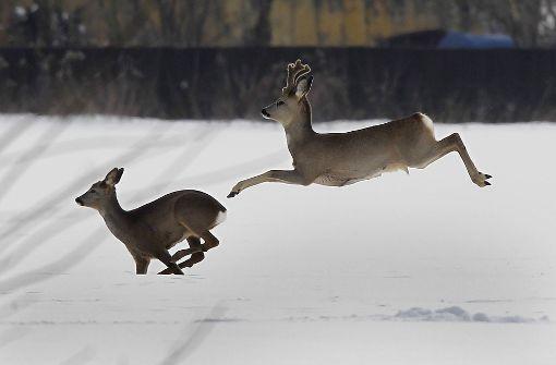 Wilderer erschießen mehrere Rehe