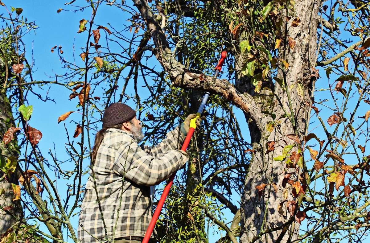 Der Obstbaumpfleger Jürgen Schmid schneidet Misteln aus den Obstgehölzen. Betroffen sind fast nur Apfelbäume. Foto: Jacqueline Fritsch