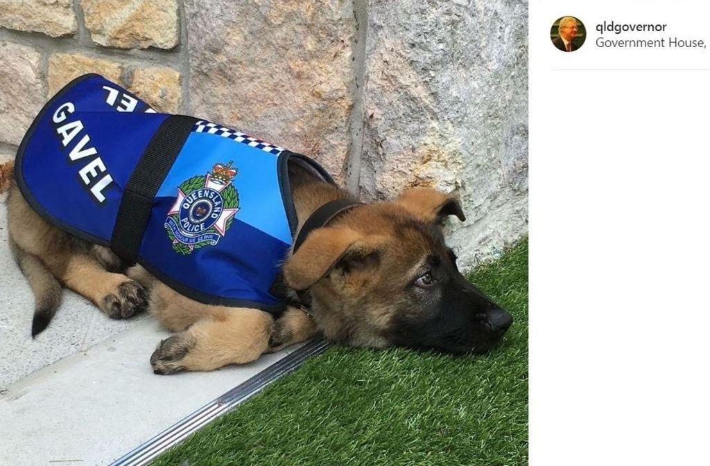Der Schäferhund Gavel taugte leider nicht zum Dienst als Polizeihund. Foto: Instagram / @qldgovernor