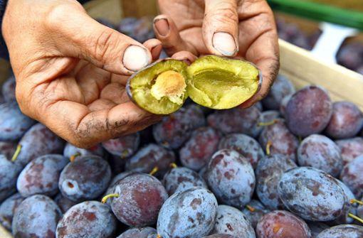 Diebe ernten 55 Kilo Obst