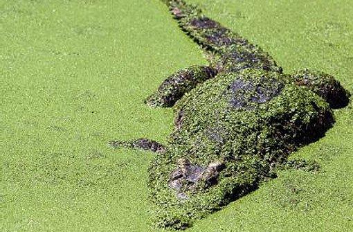 Krokodile machen sich aus dem Staub
