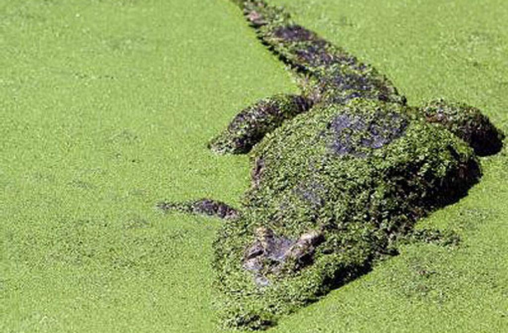Ein Krokodil im Becken einer thailändischen Krokodil-Farm (Archivbild). Mindestens zwei Dutzend der gefährliche Reptilien konnten nun entkommen. Foto: dpa