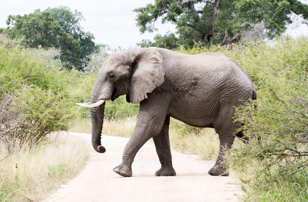 Elefanten stehen häufig im Fokus von Großwildjägern. Foto: dpa-tmn