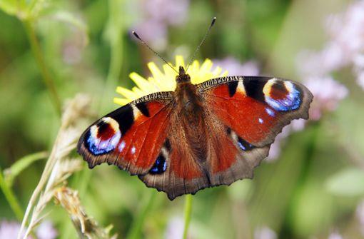 Die Welt der Schmetterlinge ist nicht mehr so bunt