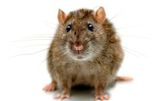 Ratte frisst Geldscheine - mehr als 16 000 Euro zerstört