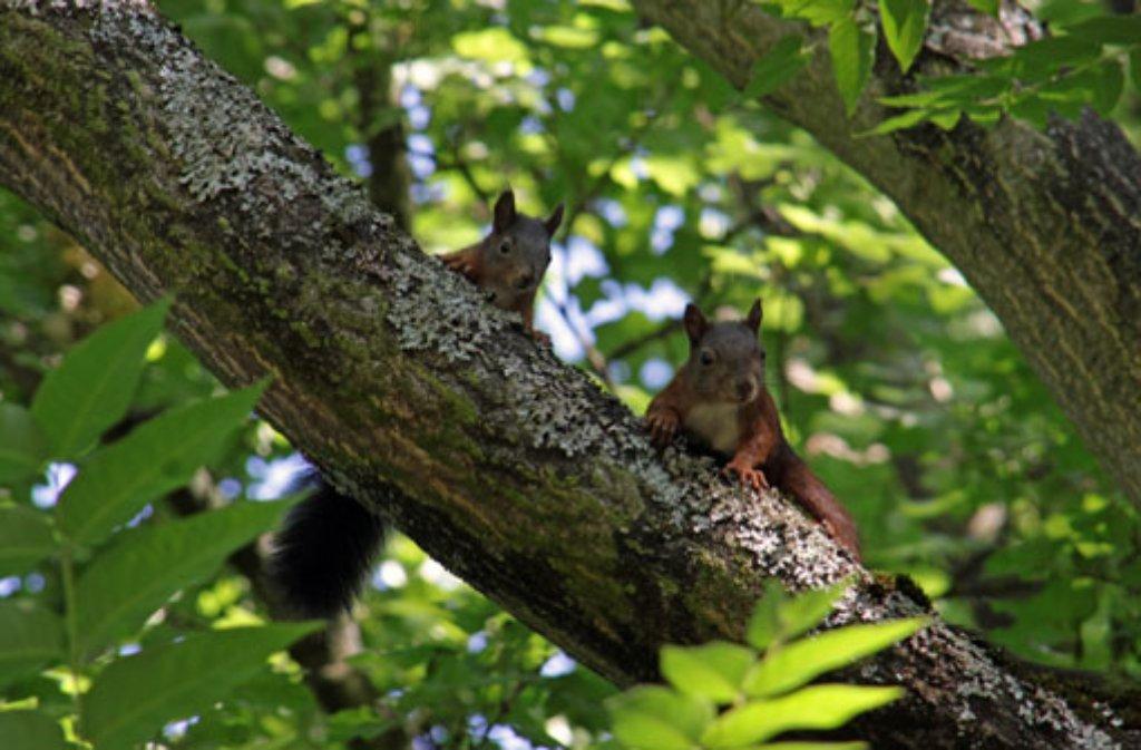 Die possierlichen Eichhörnchen gehören zu den bekanntesten Waldbewohnern. Foto: Leserfotograf: bdslucky48