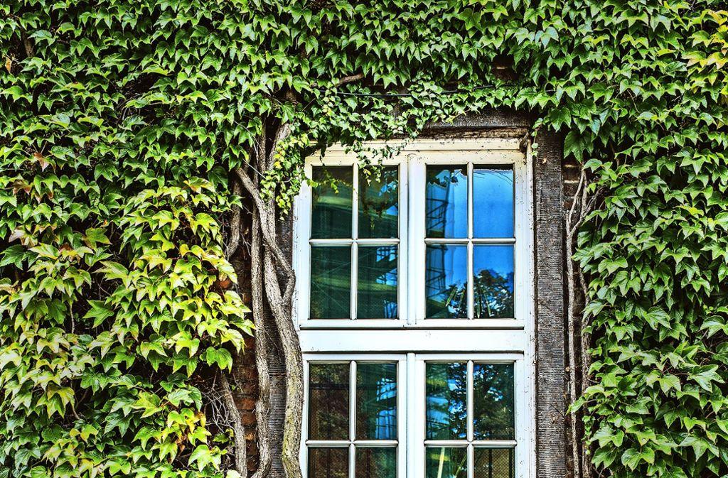 Umweltfreundlich: eine mit Efeu begrünte Hausfassade Foto: Best Photo Studie/Adobe Stock