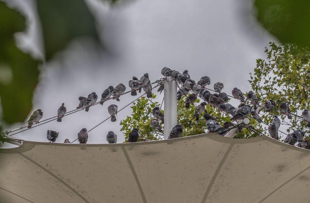 Tauben versammeln sich am Berliner Platz: Hier sollte kontrolliert gefüttert werden. Foto: Lg/Kovalenko