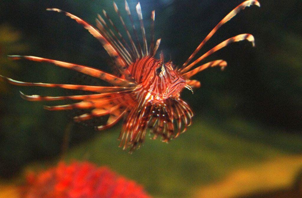 Feuerfische breiten sich momentan stark im Mittelmeer aus. Foto: picture-alliance/ dpa