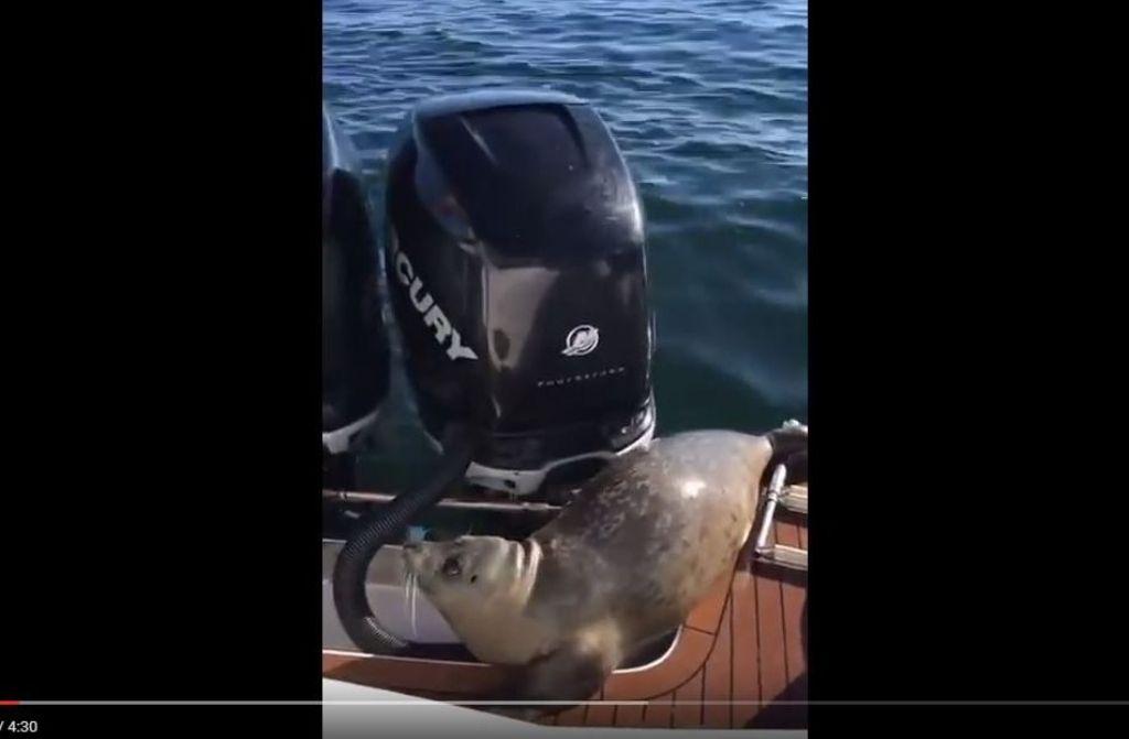 Der Seehund rettete sich in höchster Not auf das Boot. Foto: Screenshot Youtube / kirk fraser