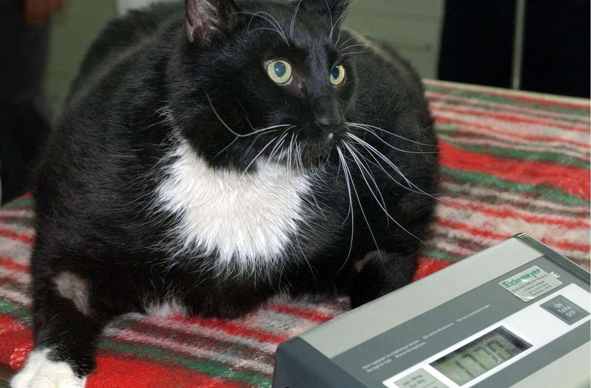 Mit rund 17 Kilo hat diese Katze deutliches Übergewicht. Sie braucht mehr Bewegung und deutlich  weniger Futter. Foto: /Stephanie Pilick/dpa