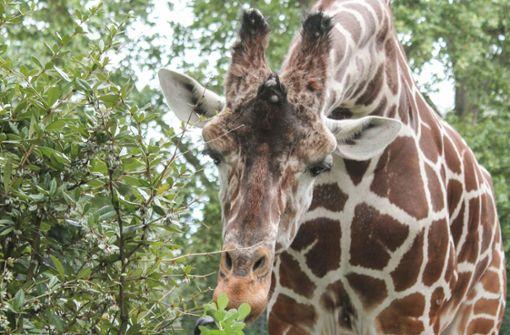 Giraffenbulle Hanck stirbt bei Narkose