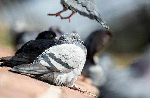 In einem Kleintierzuchtverein in Empfingen im Kreis Freudenstadt sind am vergangenen Wochenende etwa 50 geköpfte Tauben gefunden worden. (Symbolbild) Foto: dpa