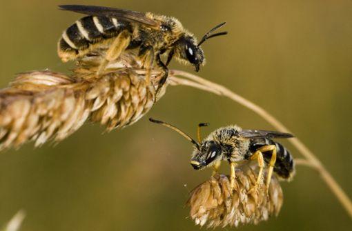 Ausgesummt: Gefährdete Wildbienen
