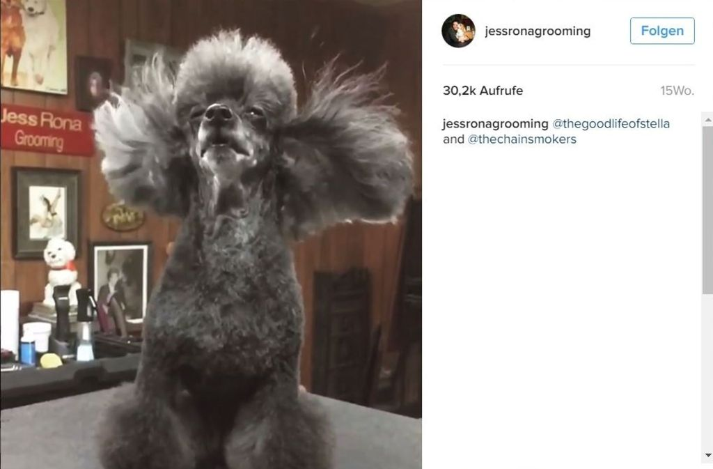 Beim Hundefriseur wird das Fell ordentlich durchgepustet. Foto: Screenshot Instagram / @jessronagrooming