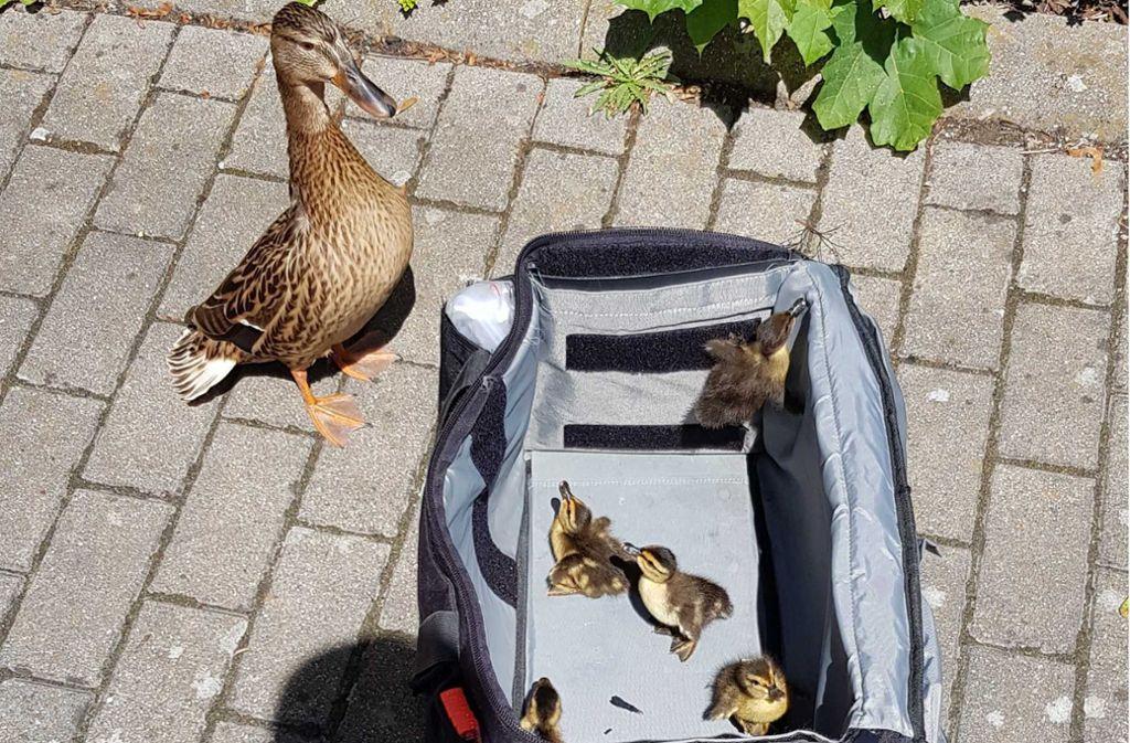 Die Polizei in Tübingen hat gemeinsam mit einem Tierheim-Mitarbeiter einer Entenfamilie gerettet. Foto: Polizeipräsidium Reutlingen