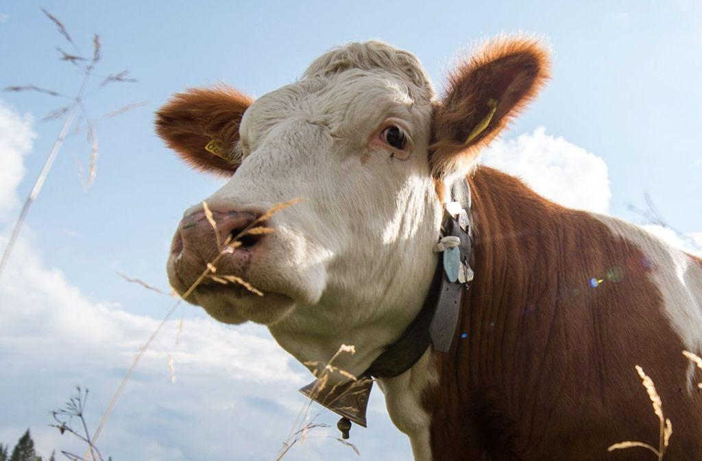 Die Kuh befindet sich noch immer auf der Flucht. Die Suche der Polizei blieb bislang erfolglos. Foto: dpa