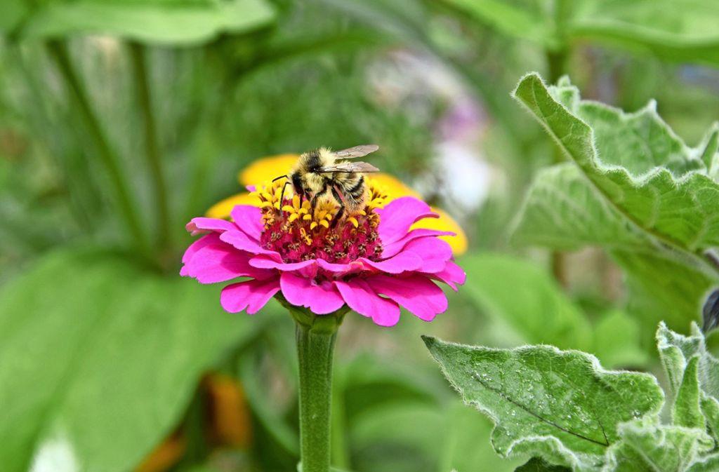 Auch Blumen in Privatgärten helfen den Bienen auf den Fildern im Überlebenskampf. Foto: Alexandra Kratz