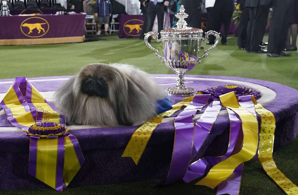 Bei der traditionsreichen Westminster-Hundeschau in Tarrytown überzeugte Pekinese Wasabi die Jury und landete auf dem ersten Platz. Foto: dpa/Kathy Willens