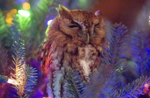 Familie findet lebende Eule in Weihnachtsbaum
