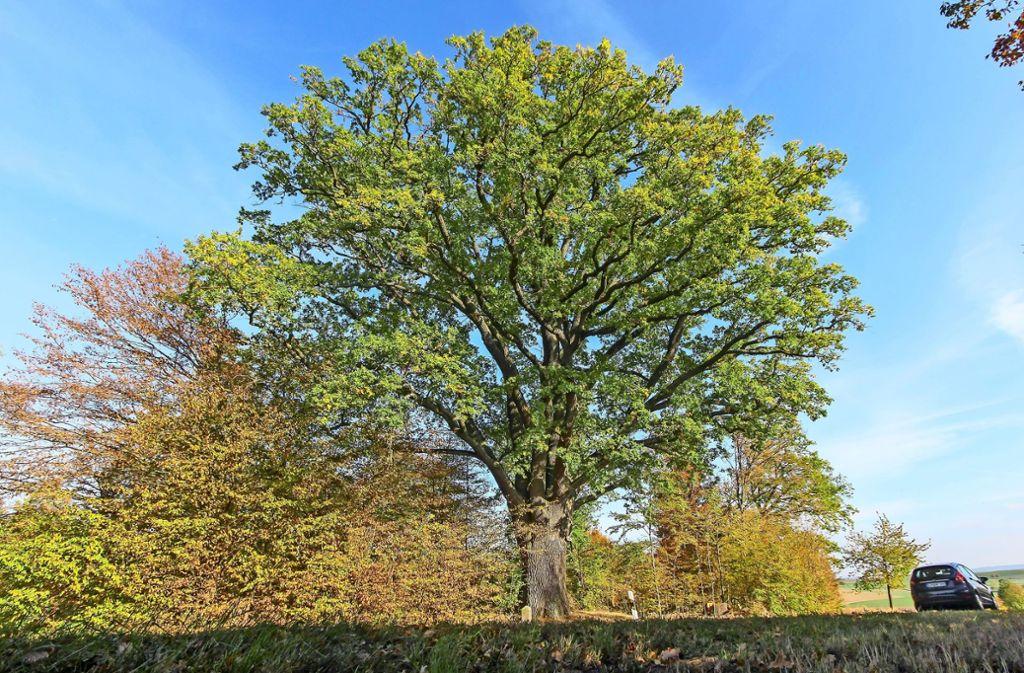 Der markante Baum steht zwischen dem Ditzinger Ortsteil Heimerdingen und der Gemeinde Hemmingen.Der Baum ist geschützt. Foto: factum/Bach