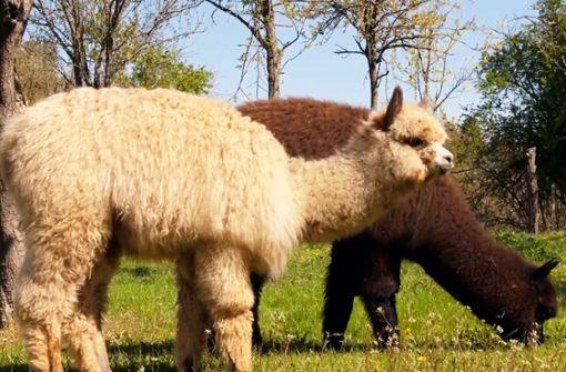 So leben die flauschigen Tiere fernab der Anden