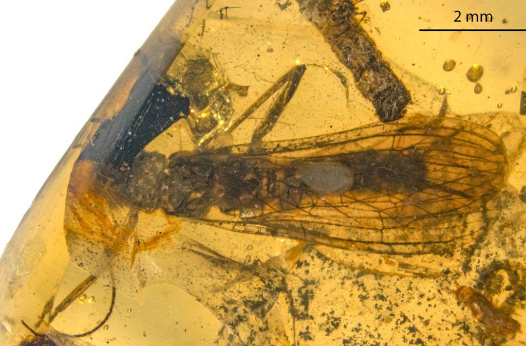 Petroperla Mickjaggeri