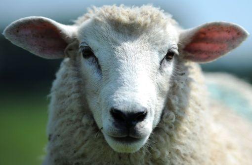 Politiker muss wegen Ohrfeige 300.000 Dollar zahlen – und ein Schaf