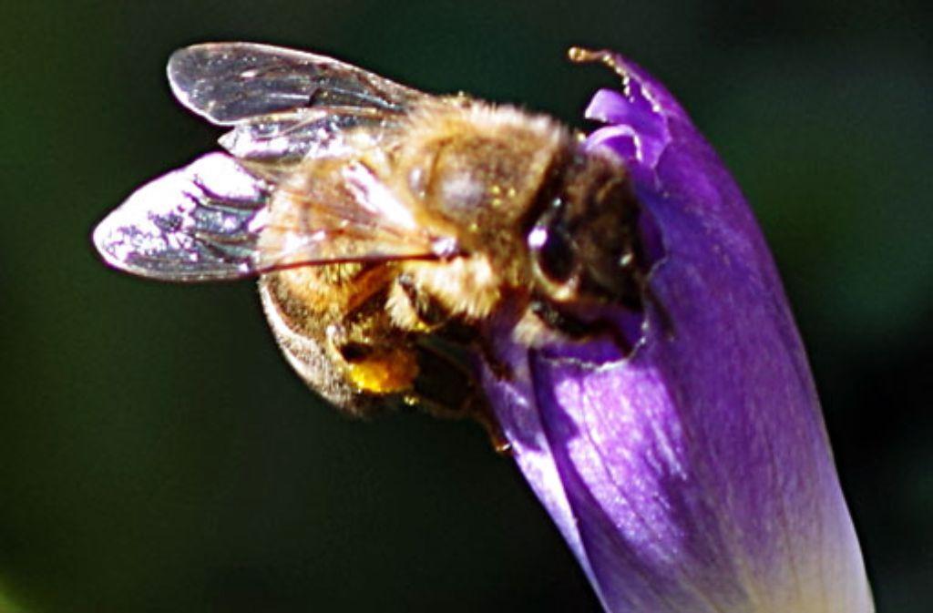 Der Frühling nähert sich mit unaufhaltsamen Schritten - der Krokus blüht, die Bienen suchen schon nach Nektar. Foto: Leserfotograf ehrwer