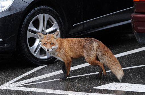 Vollbremsung wegen Fuchs führt zu Verletzten