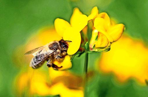 Die Biene ist nicht jedem überall willkommen