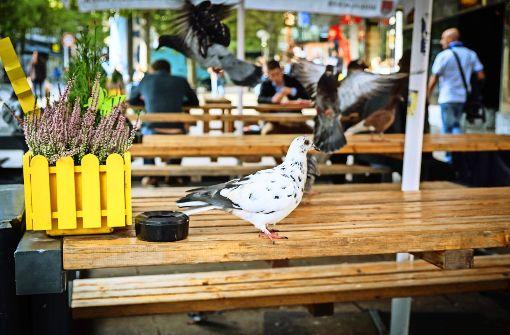 Hungrige Tauben werden zum Problem