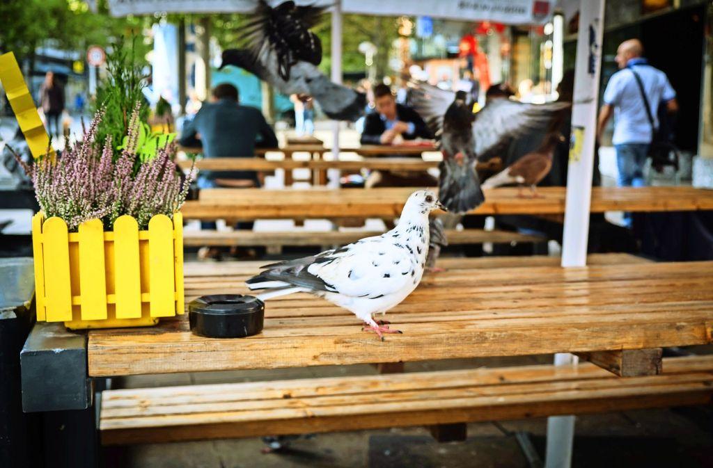 Wo gegessen wird, da lass dich nieder: Tauben auf Nahrungssuche Foto: Lichtgut/Achim Zweygarth