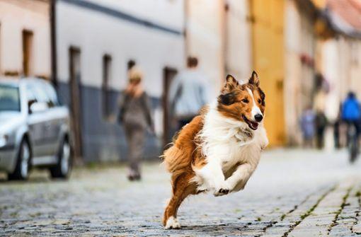 Lassie im weiß-blauen  Bayern