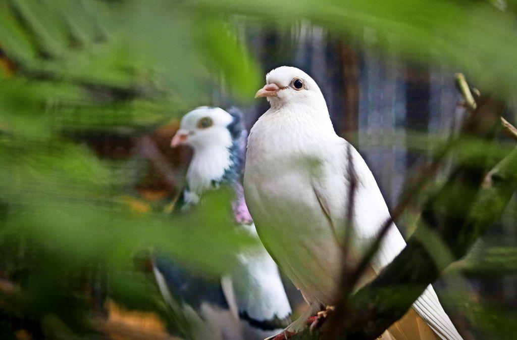 Gewöhnliche Stadttauben, weiße Hochzeitstauben, fächerfedrige Zuchttauben werden in der neuen Voliere leben. Foto: factum/Granville