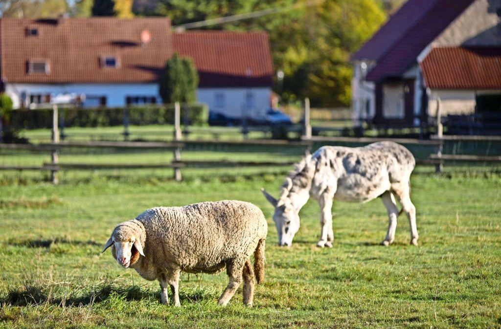 Nochmal gut ausgegangen ist es für die Tierherde  beim Schopflocher Moor. Foto: Steinert