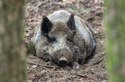 Illegaler Jäger hinterlässt Haut und Kopf eines Wildschweines