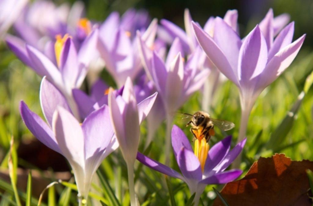 Die Krokusse blühen und die Biene sind auch schon da. Foto: dpa