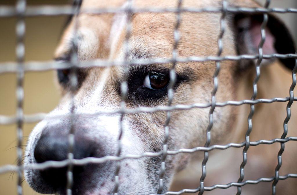 """Staffordshire-Terrier-Mischling """"Chico"""" in einem Gehege im Tierheim Hannover. Foto: dpa"""