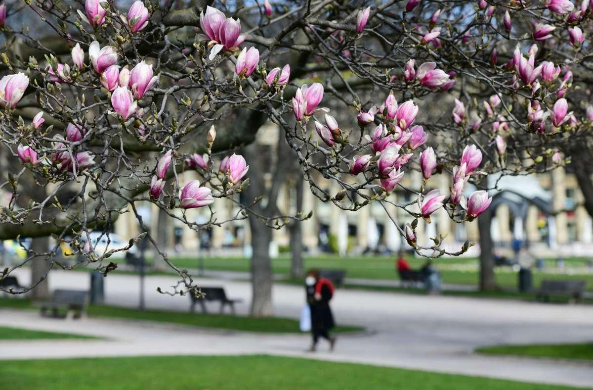 Die Magnolien am Stuttgarter Schlossplatz sorgen für Frühlingsgefühle – aber es bleibt kühl. Foto: LICHTGUT/Leif Piechowski