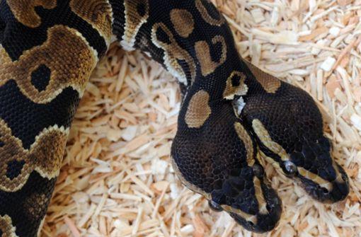 Schlange mit zwei Köpfen auf Bali entdeckt