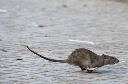 Kampf gegen Ratten hat  böse Folgen