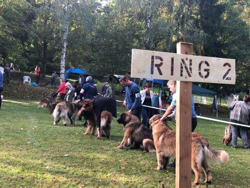 Die Leonberger Hunde sind los