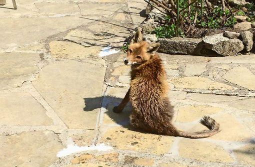 Wie stark bereitet sich die Fuchsräude gerade aus?