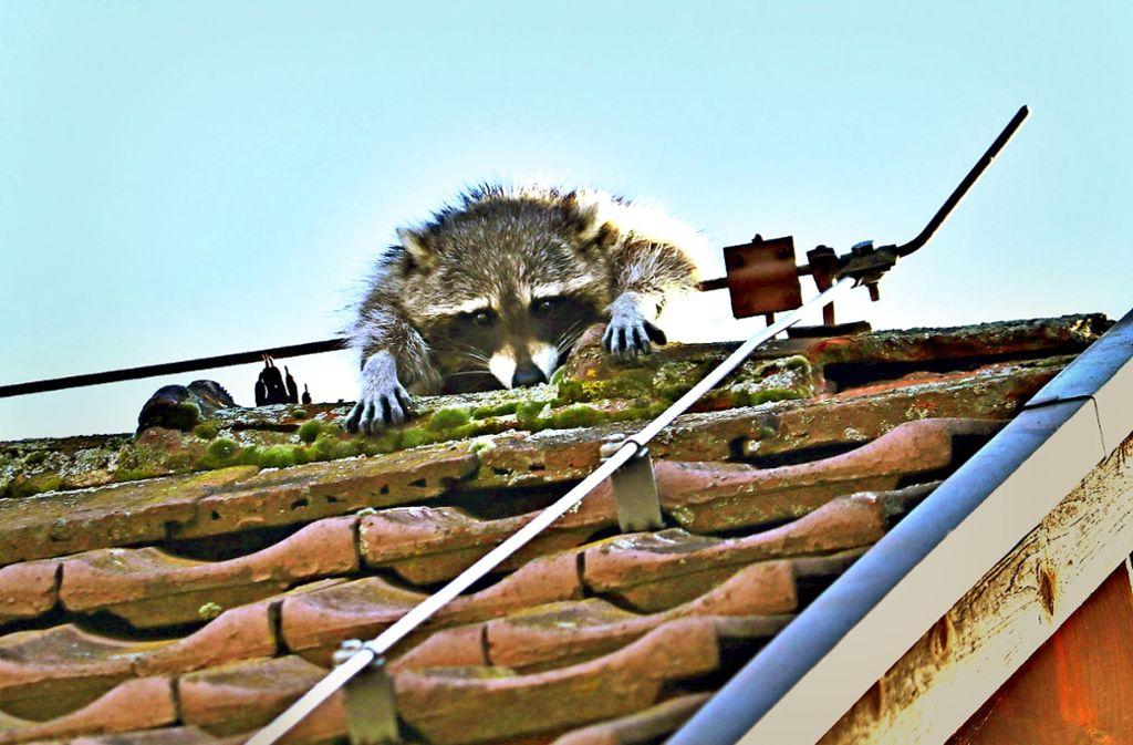 Ein Blitzableiter hat in Rudersberg einen Waschbären in Bedrängnis gebracht. Foto: SDMG